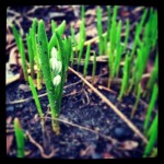 Striped Squill Shoots